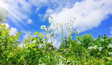 lean out: Daisies, flower meadow, blue sky
