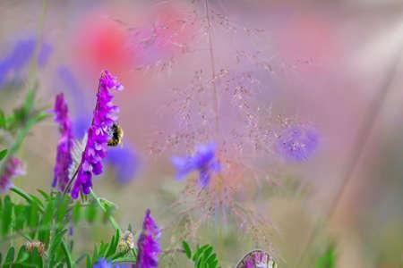 vetch: Bird vetch, poppies, flower meadow