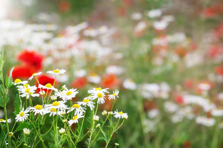 Chamomile flowers and poppies