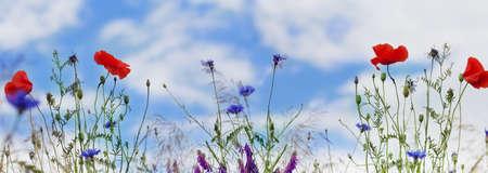 blue widescreen widescreen: Panorama, Poppies, corn poppy, field flowers Stock Photo