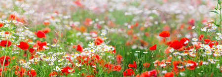 marguerites: Panorama, Chamomile flowers and poppies