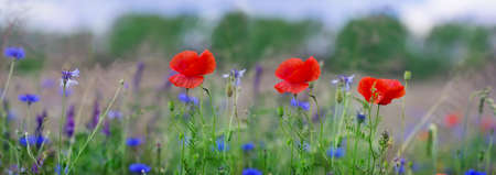 Panorama, Poppies, corn poppy, field flowers Stock Photo