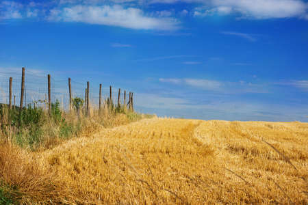 Cornfield against a blue sky, harvested