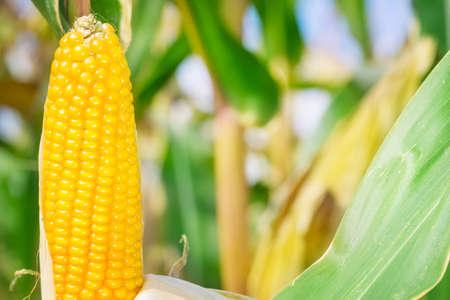 fodder corn: Corn, corn on the cob