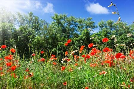 field of corn poppy flowers: Poppies, corn poppy, field flowers Stock Photo