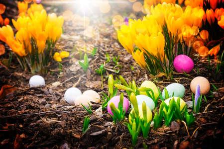 Easter eggs between crocuses