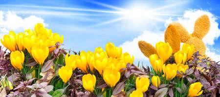 blue widescreen widescreen: Easter Bunny between Crocuses, crocus lawn and blue sky