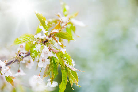 Cherry blossoms in the snow, sparrows Stock Photo
