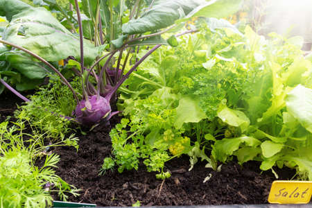 Turnip greens, lettuce and other crops in the raised bed