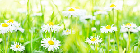 Daisies, flower meadow in the sunlight, banner