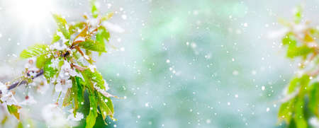 Cherry blossoms in the snow, ice saint, banner Imagens