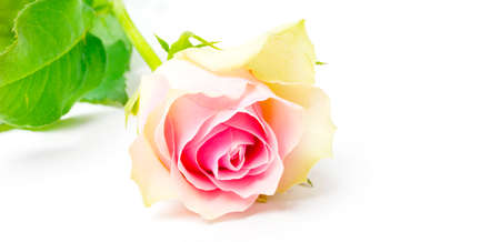 A pink rose, isolated on white