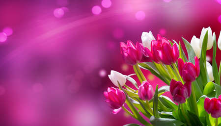 Pink and white tulips against pink bokeh, panorama
