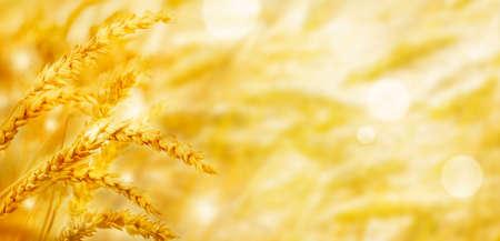 Beautiful wheat field in the sunset light, golden ears during harvest, banner  Standard-Bild