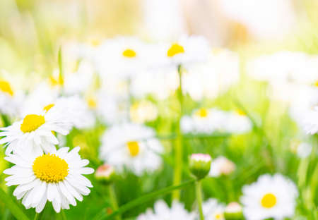 Daisy meadow in the sunshine Standard-Bild