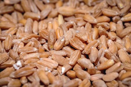 Close up on a spelt seeds without hulls Imagens