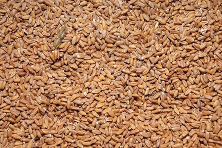 Heap of spelt seeds without hulls Imagens