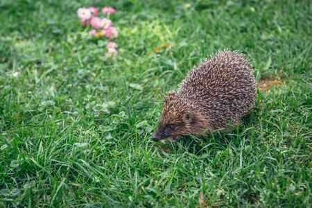 Small hedgehog walks on a green grass in Poland