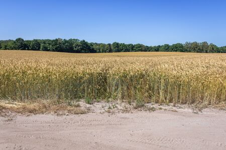 Rye field in rural area of West Pomeranian Voivodeship of Poland