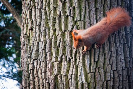 ginger squirrel on a tree in Lazienki Royal Bath Park in Warsaw, Poland
