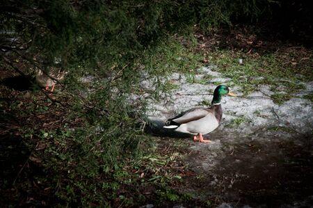 Mallard ducks in Lazienki Park (also called Lazienkowski Park or Lazienki Krolewskie - literally Baths Park or Royal Baths) in Warsaw, Poland