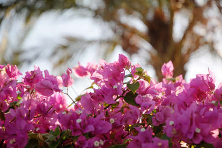 Close up on pink bougainvillea flowers with date palm tree shape on background