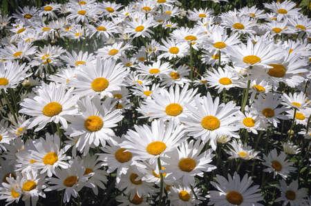 Popular garden hybrid of wild chrysanthemums called Shasta daisy flowers