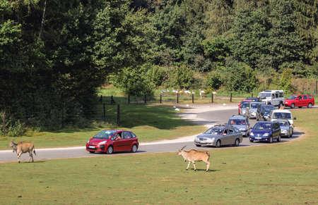 Hodenhagen, Germany - August 17, 2009: Tourists cars in Serengeti Park, zoo and leisure park in Hodenhagen municipality 新闻类图片