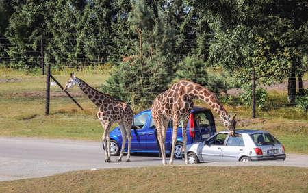 Hodenhagen, Germany - August 17, 2009: Giraffes in Serengeti Park, zoo and leisure park in Hodenhagen municipality