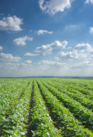 monoculture: Soybean Field Rows Stock Photo