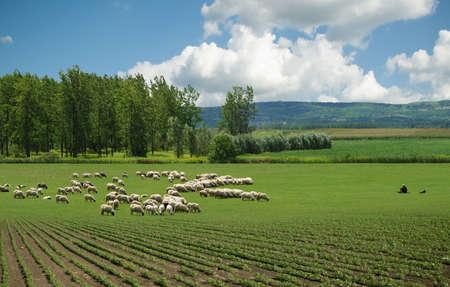 ovejas bebes: ovejas en pastos Foto de archivo