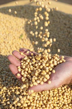 soja: Mains humaines d�tenant des f�ves de soja apr�s la r�colte