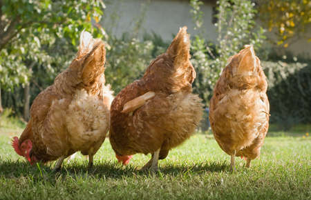 Hens in the farm photo