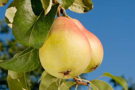 梨: 枝に梨