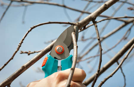 shears:  cutting tree with a pruning shears Stock Photo