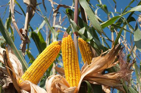 Campo de maíz en la época de la cosecha Foto de archivo