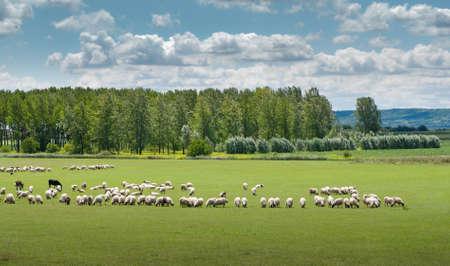 sheep on pasture Stock Photo - 9200421