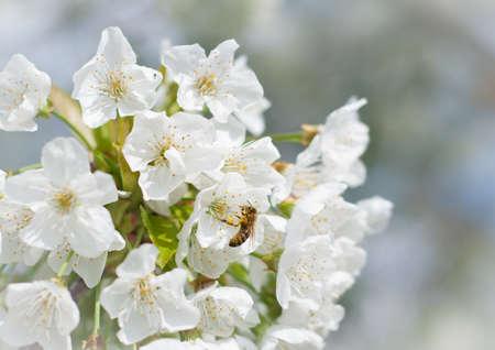 bees pollination cherry blossom photo