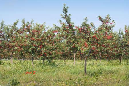 cherry  orchard photo