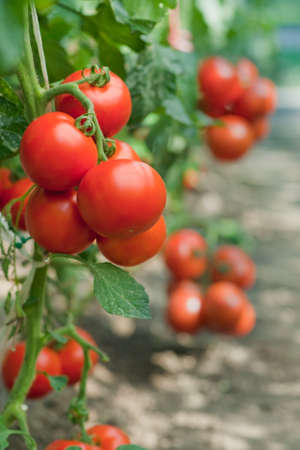 crop  stalks: growth tomato