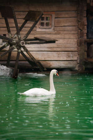 swan on the river next to the watermill photo
