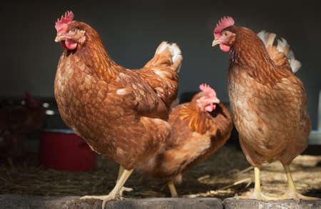 poultry yard: chicken farm