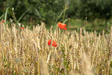 Wild flowers in wheat field photo
