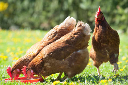 hens: The farm hen pecks food in meadow