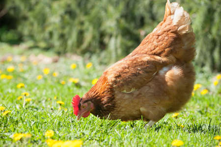 animal feed: Hens in the farm  Stock Photo