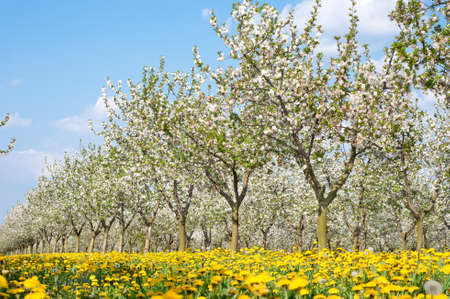 Blossoming apple orchard  in spring photo