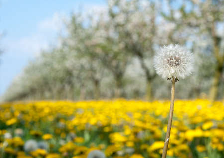 Blossoming yellow dandelion  in spring photo