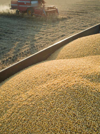Soybean Harvest photo