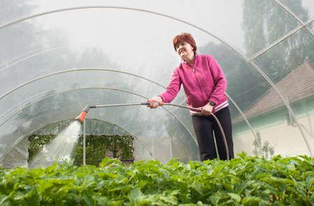 vrouw drenken zaailing tomaat in kas