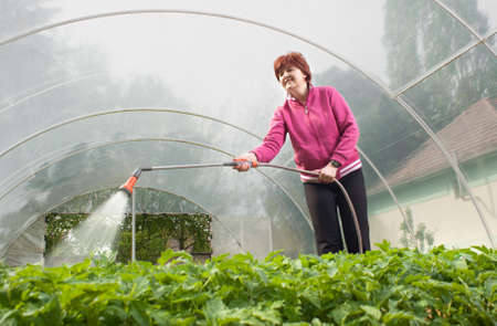 smiling woman in a greenhouse:  woman watering  Seedling Tomato in  greenhouse